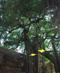 ancient tree at entrance of Shanivada
