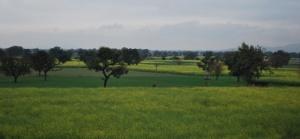 Braethe the air countryside, mustard flowers in bloom