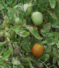 a closer  look at juicy tomatoes