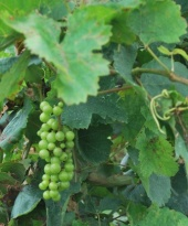 small grapes for wine making