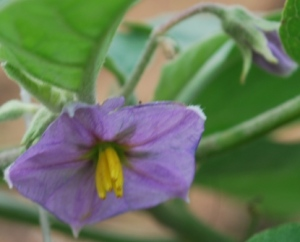the flower of brinjal or aubergine