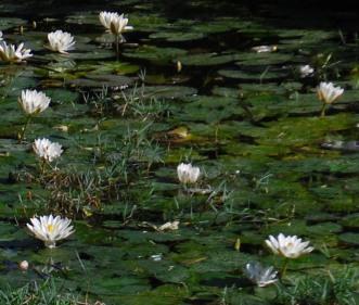 waterways of lotuses