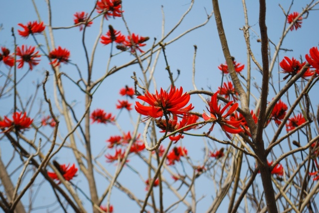 the scarlet tree
